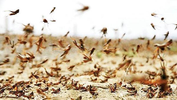 هشدار فائو درباره ملخهای صحرایی